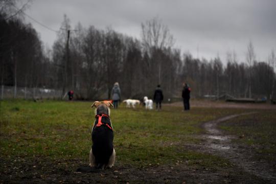 Oransseihin valjaisiin puettu koira istuu selin kameraan ja katselee taka-alalla näkyviä muita koiria omistajineen.