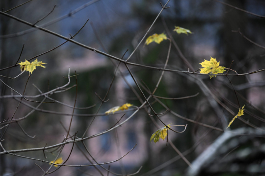 Muutamia keltaisia vaahteranlehtiä on vielä kiinni puun oksissa.