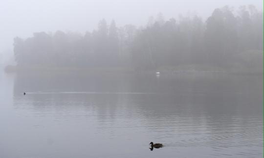 Lintu ui vedessä, taustalla näkyy sumun keskeltä Helsingin Seurasaari.