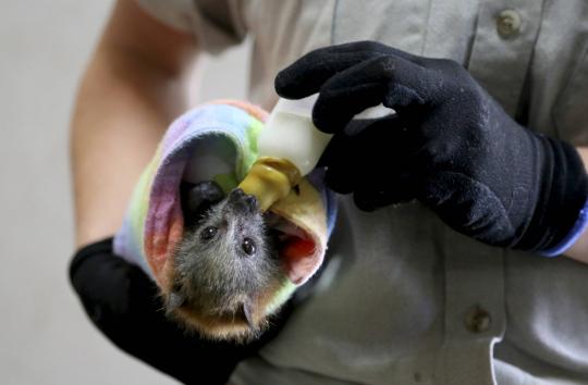 Australian paloista selvinnyt lepakko Taronga Zoon villieläinsairaalassa Sydneyssä.