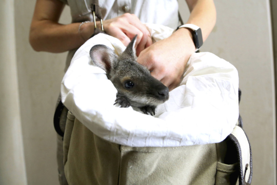 Kengurun poikanen, joka selvisi Australian paloista Taronga Zoon villieläinsairaalassa Sydneyssä.